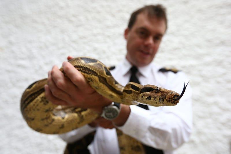 An inspector handles a boa constrictor at a reptile rescue centre.