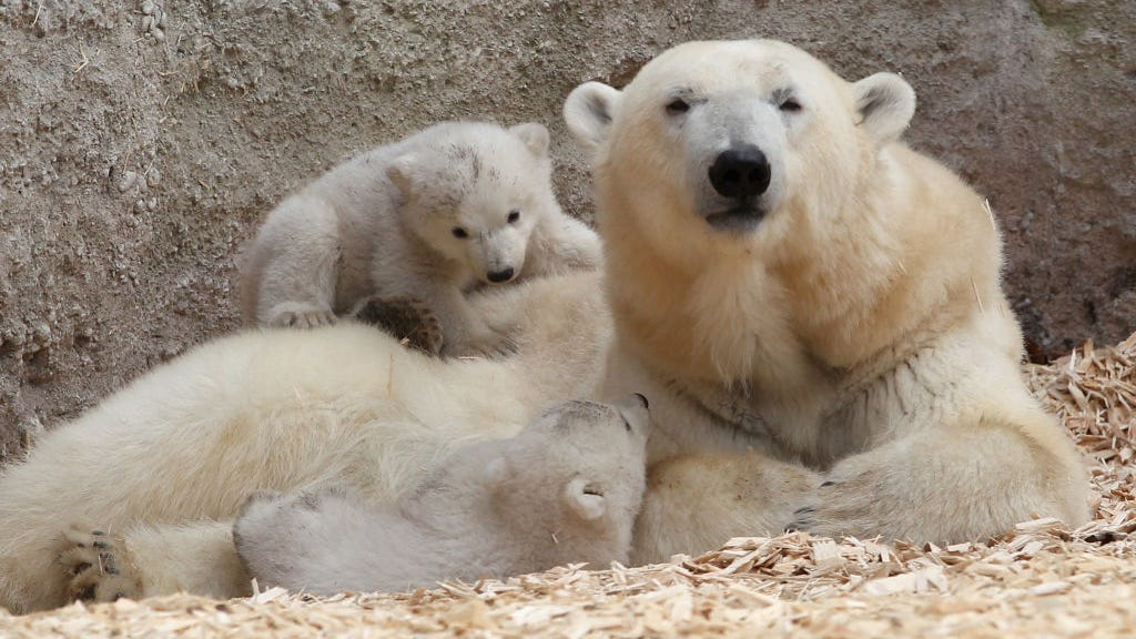 Polar bears face extinction from climate change-caused inbreeding: Study