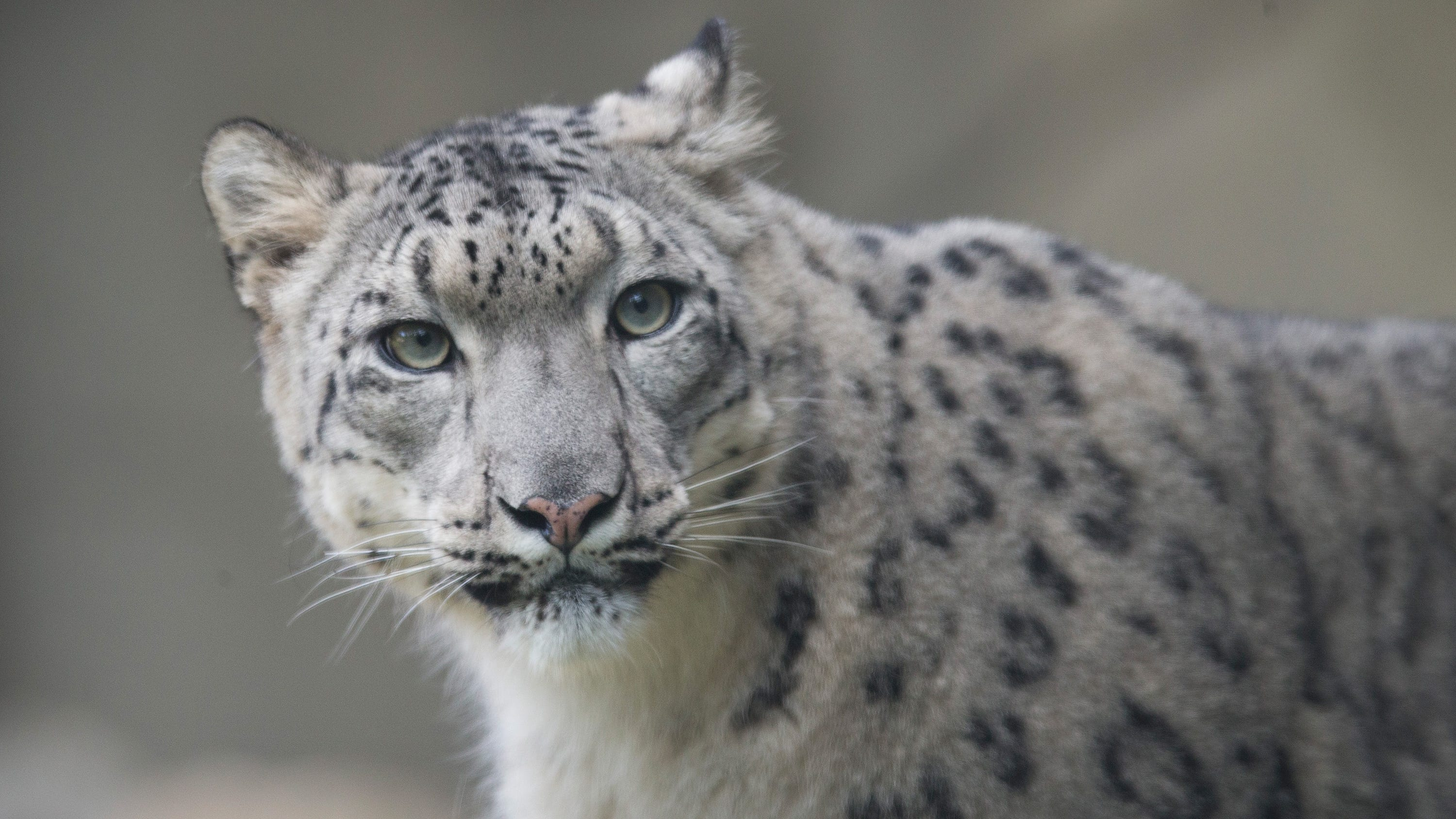 San Diego Zoo snow leopard tests positive for Covid-19, unclear if Delta variant