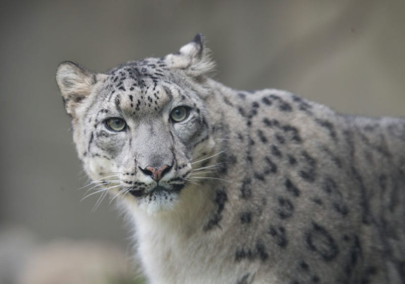 A female snow leopard at the Brookfield Zoo in Illinois.