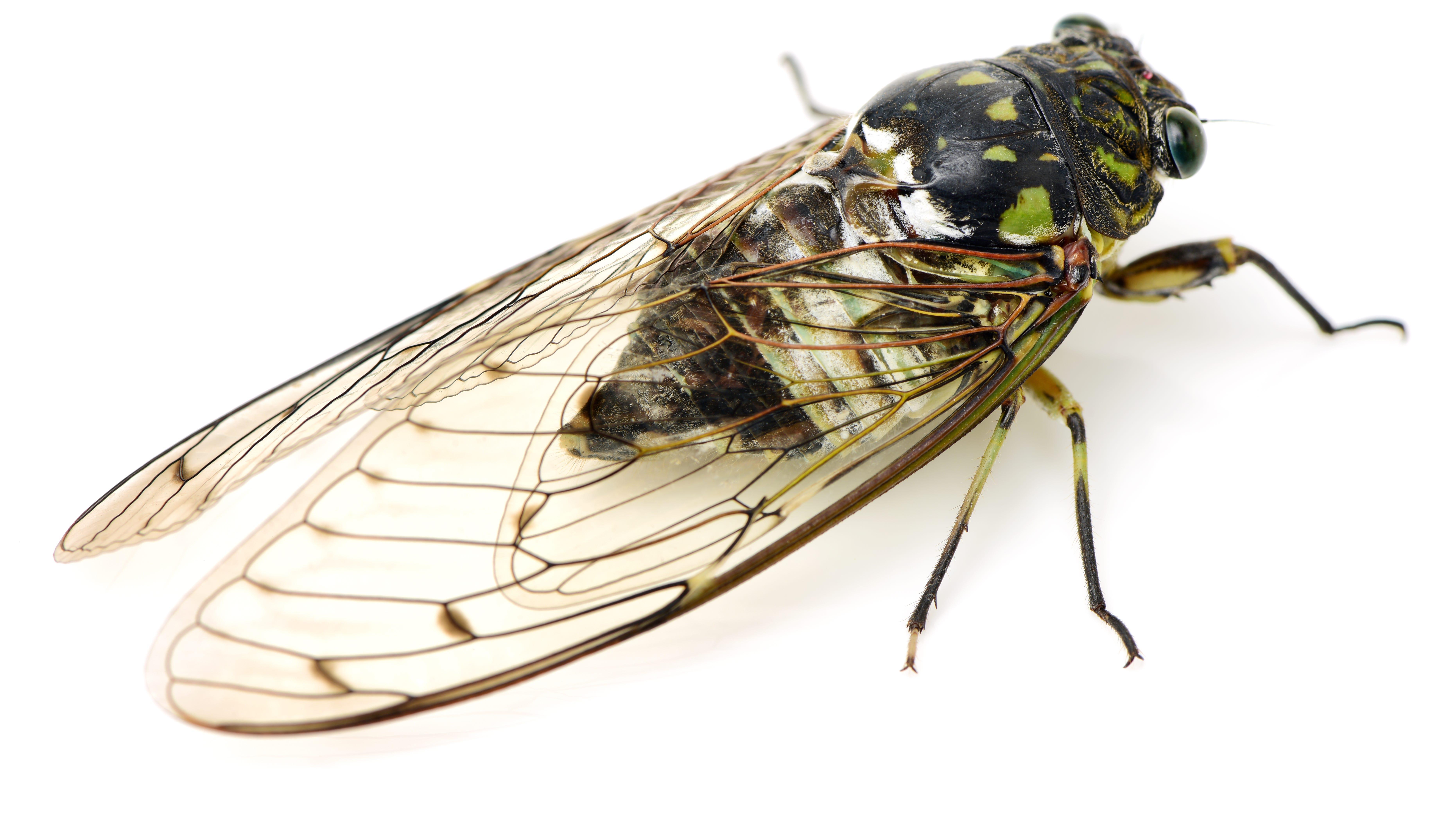 'Amorous' cicada causes serious car crash: police