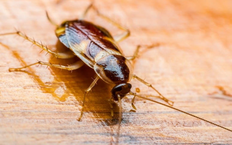 Cockroach, Roach, Wooden Table