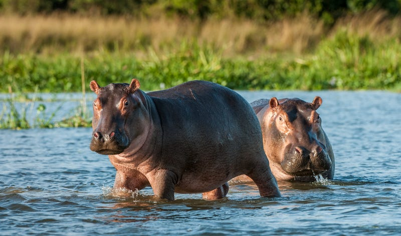 Two common hippopotamus in the water