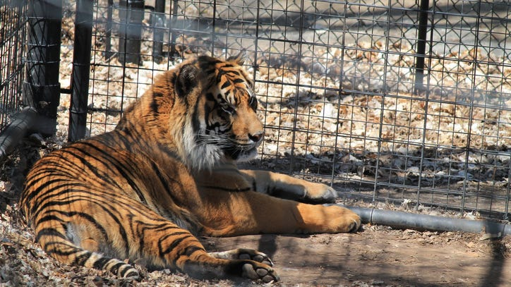 Authorities seize 68 big cats from 'Tiger King' park amid allegations of animal abuse