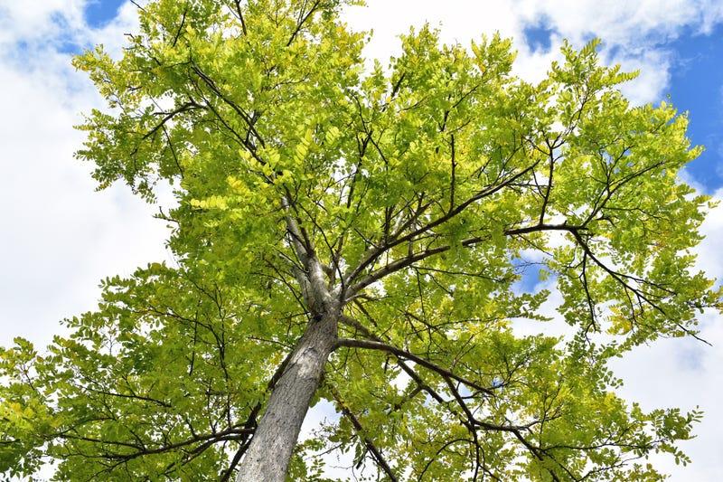 An upshot of an Ash Tree against a cloudy blue sky