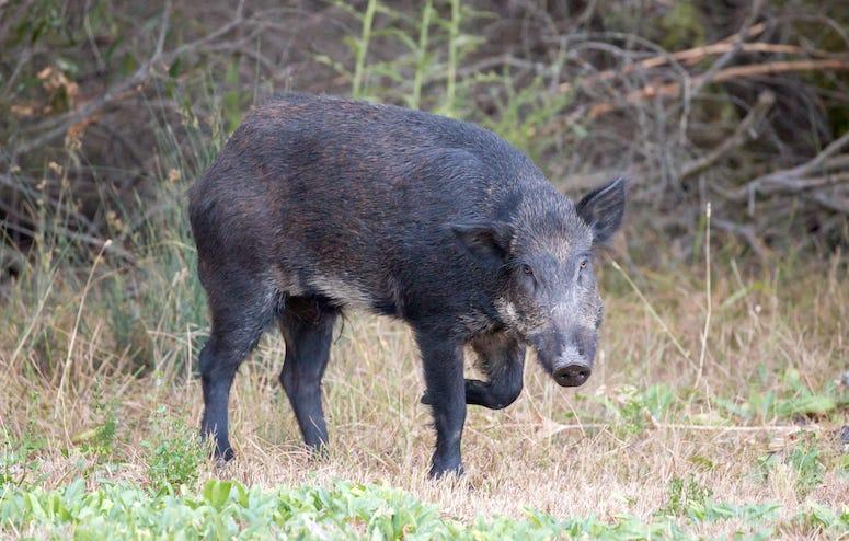 Feral hog walking in grass