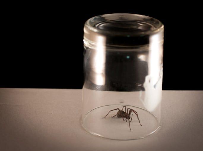 Spider caught under a glass