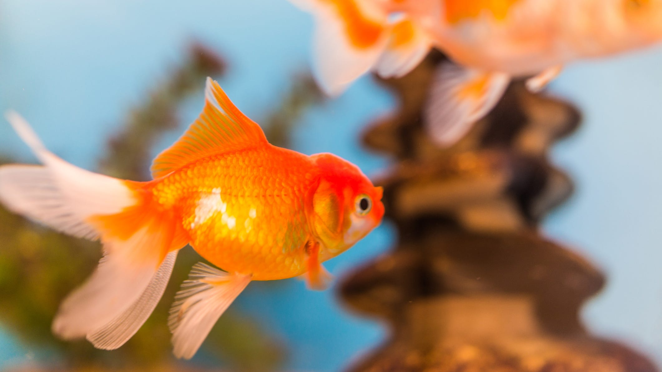 Why you should never release goldfish into the wild [SHOCKING PHOTOS]