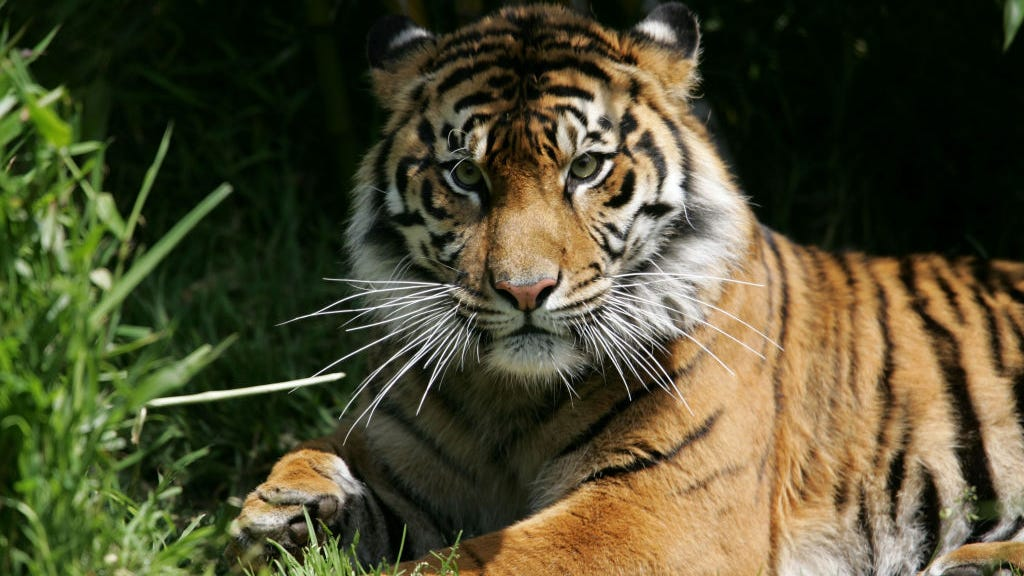 Zookeeper killed by 675-pound Siberian tiger that climbed 12-foot fence