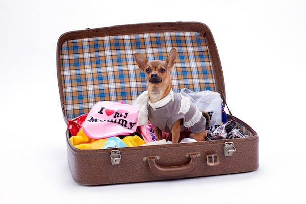 Chihuahua standing in a suitcase