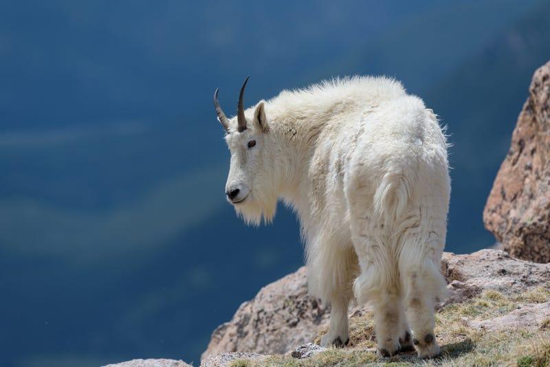Wild Mountain Goats of the Colorado Rocky Mountains.