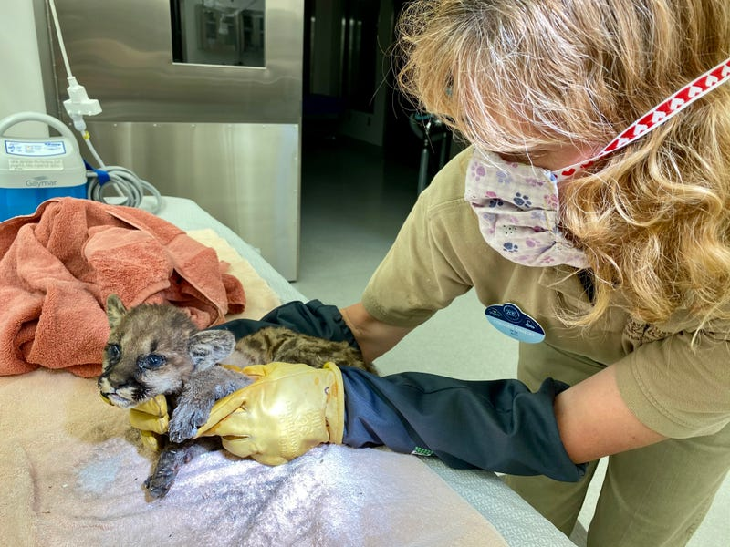 The injured cub was cleaned, given antibiotics, fluids, pain medication and fed milk formula.