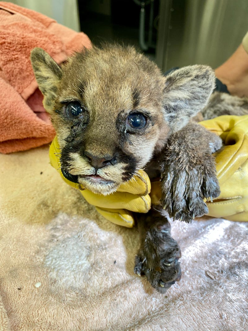 A young mountain lion cub is treated by vets at the Oakland Zoo.