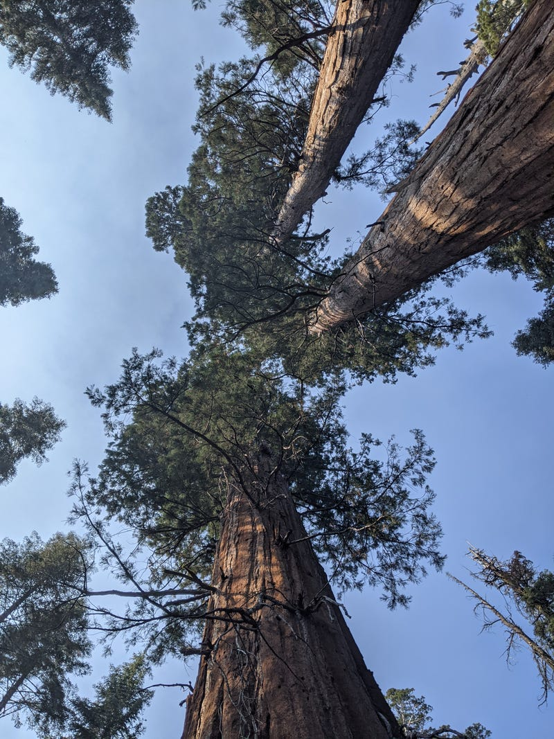 Giant sequoia trees seen in Yosemite National Park.