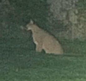 loose big cat in Royal Oak