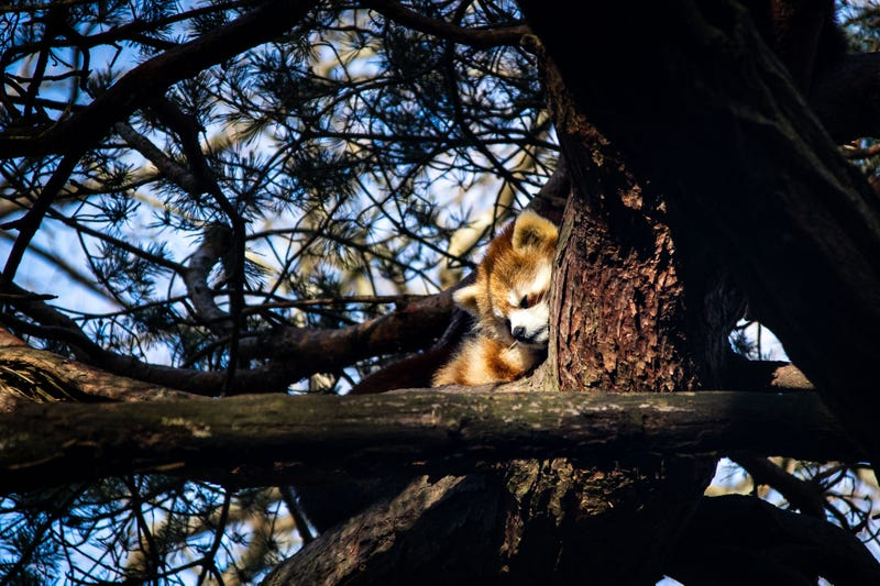 Red pandas at Woodland Park Zoo in Seattle