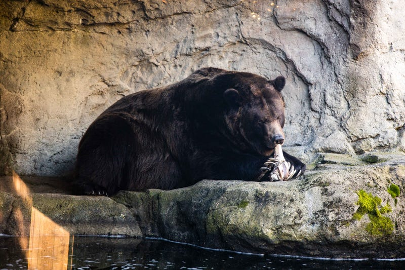 Brown bear at Woodland Park Zoo