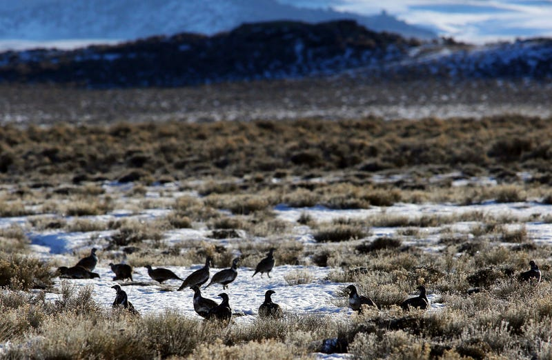 Drilling Sage Grouse