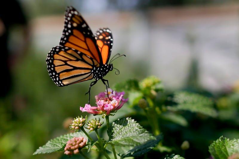 Monarch Butterflies Near Extinction