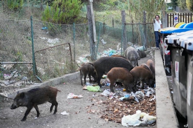 Italy Wild Boars