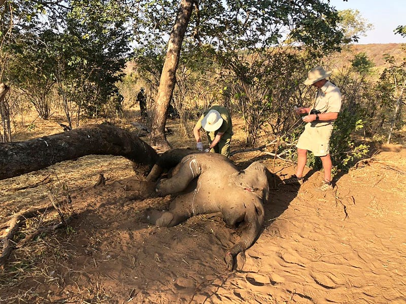 Zimbabwe Elephants Dying