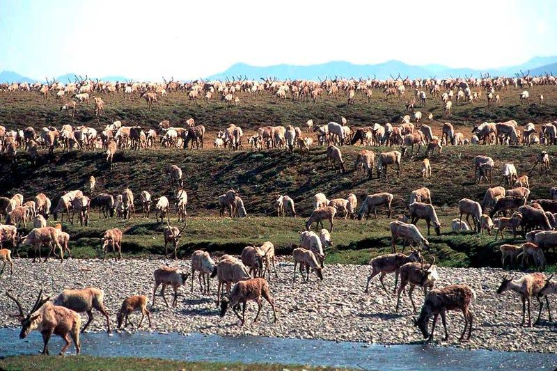 Alaska Wildlife Refuge Oil Leasing