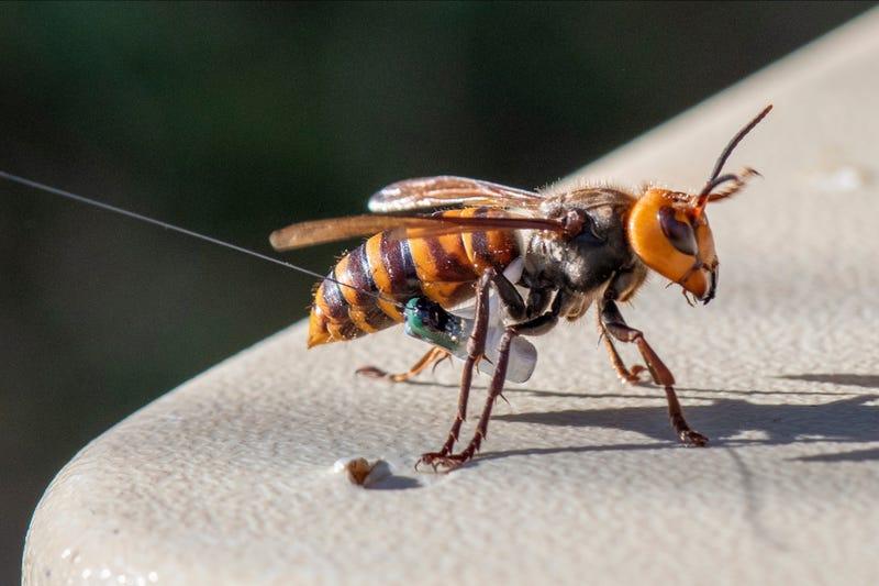 Murder Hornets Nest