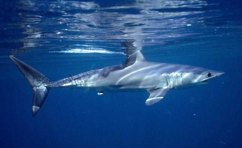 Shark Decline