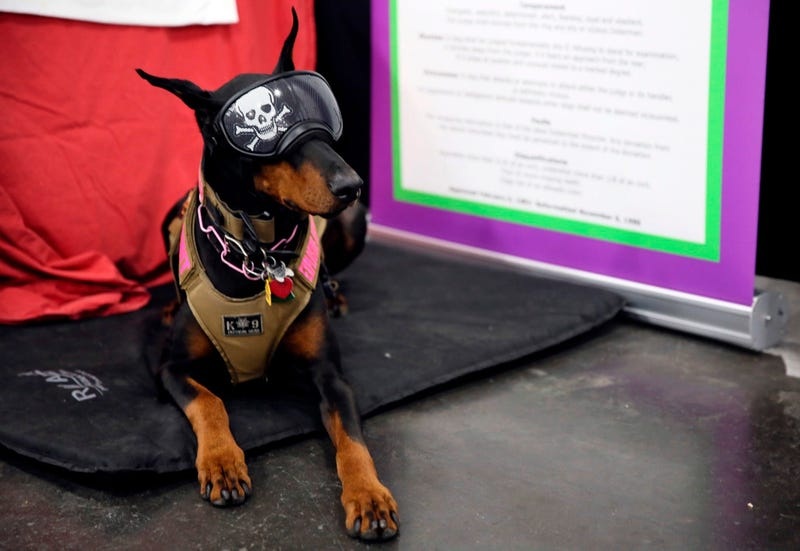 In this Saturday, Jan. 25, 2020 photo, Tabitha, a Doberman pinscher, who was initially a show dog but now is an explosives-sniffer, checking dignitaries' private planes at New York City-area airports.