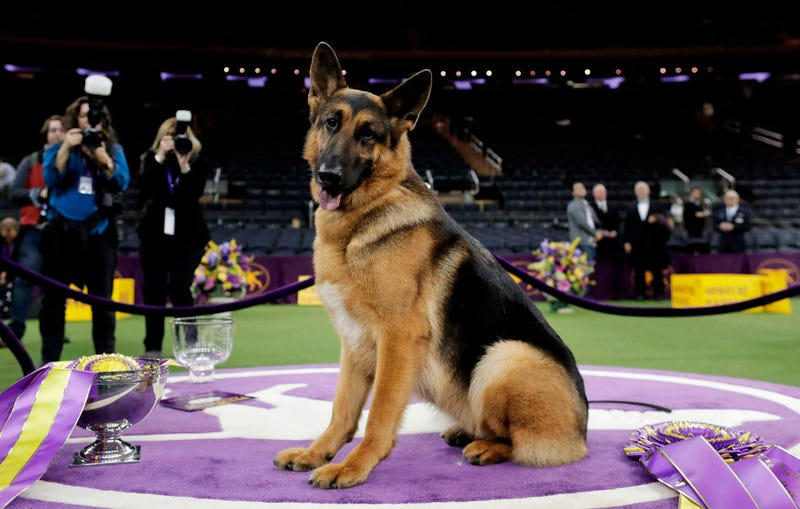 Named best in show at Westminster in 2017, Rumor counts among her puppies two PTSD service dogs that live with veterans.
