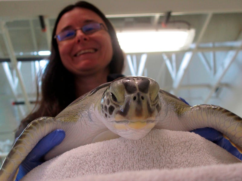 Brandi Biehl, co-director of the Sea Turtle Recovery hospital inside the Turtle Back Zoo in West Orange, N.J. examines a sea turtle.