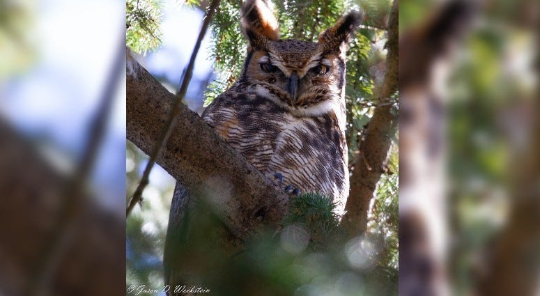 Great Horned Owl at West Laurel Hill Cemetery in the 2019 Great Backyard Bird Count.