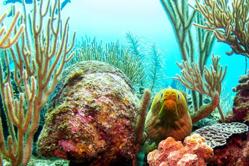 An Eel in the Belize Barrier Reef