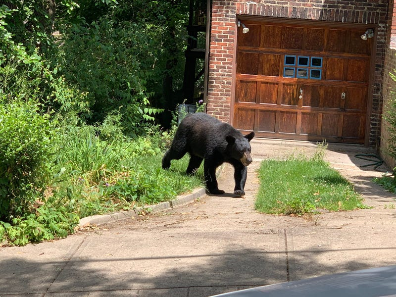Black Bear in Highland Park