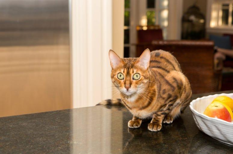 Cat_Kitchen_Counter