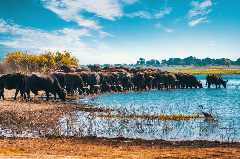 Water Buffalo in Chobe Park in Botswana