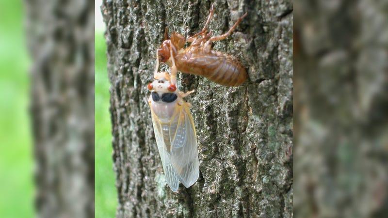 A newly emerged adult cicada sheds its exoskeleton on a tree.