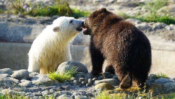 Polar and grizzly bear cubs are best friends at the Detroit Zoo [PHOTOS+VIDEO]