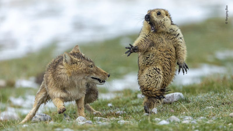 The Moment by Yongqing Bao, China. Joint Winner 2019, Behaviour: Mammals. Grand title winner, Wildlife Photographer of the Year