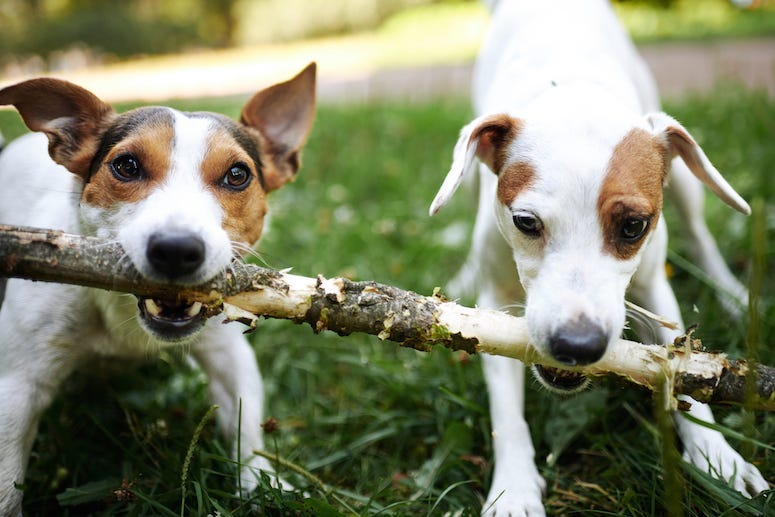 Dogs, Park, Outdoors, Stick, Jack Russell Terrier