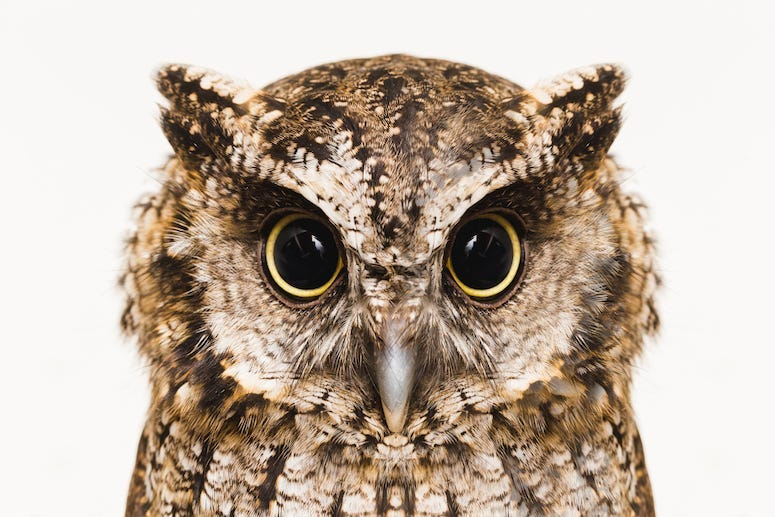 Owl, Eyes, High Resolution