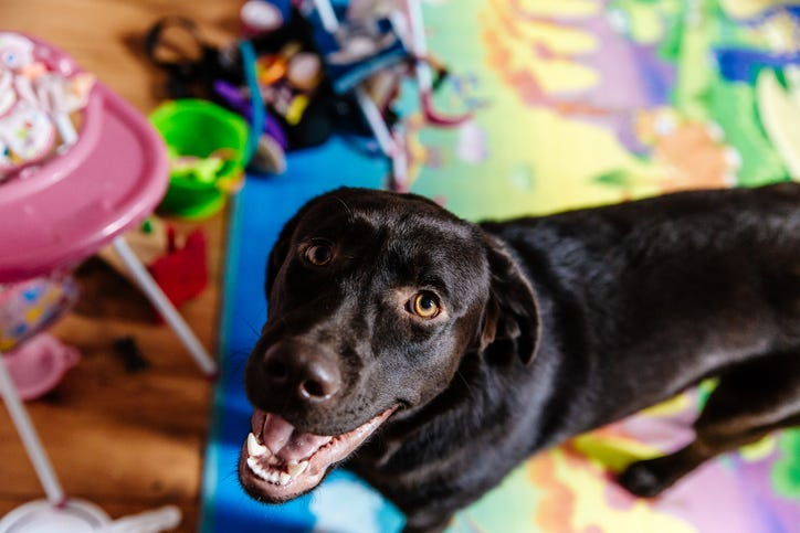 Dog surrounded by toys