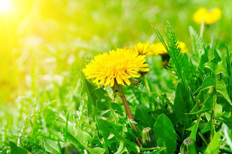 Dandelions Are Good For Us and The Earth