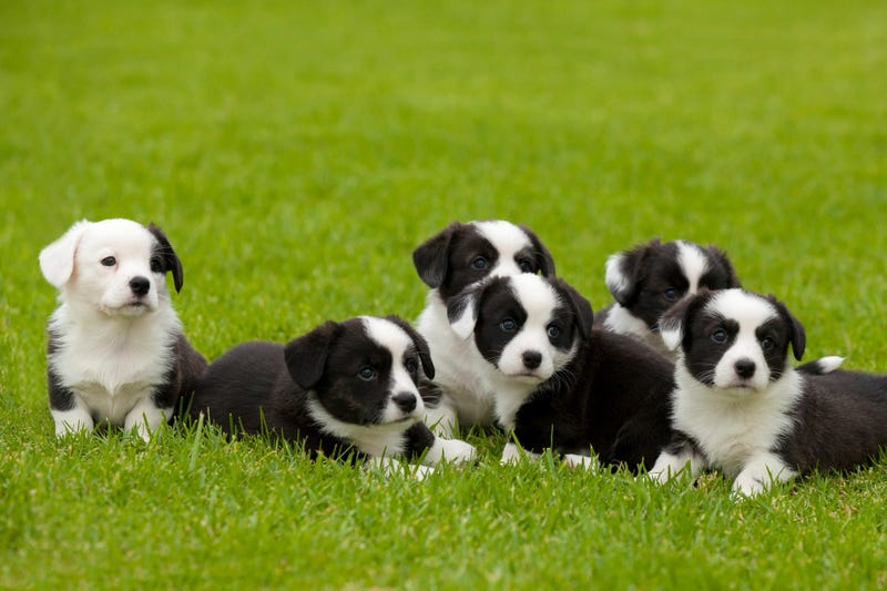 Six cute brindle and white Cardigan Welsh Corgi puppies sitting on grass looking forward.