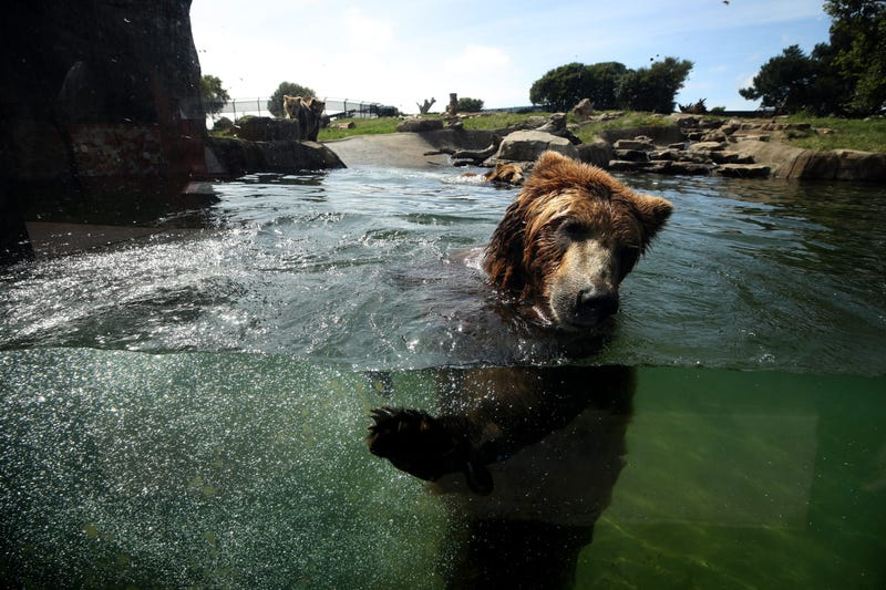 OAKLAND, CALIFORNIA - APRIL 16: A grizzly bear swims in a pool at the Oakland Zoo on April 16, 2020 in Oakland, California.