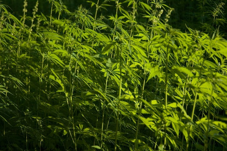 Hemp cultivation for non-drug uses
