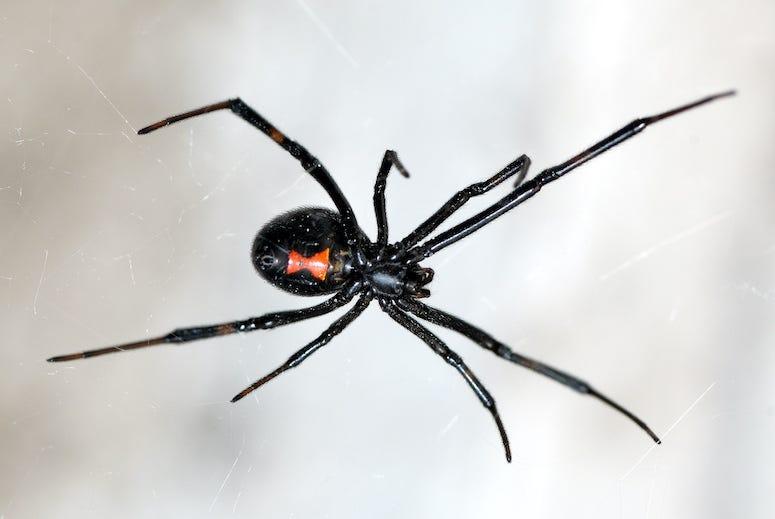 Black Widow, Spider, Web, Close-Up