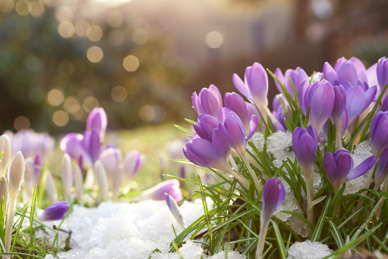 Lilac in spring snow