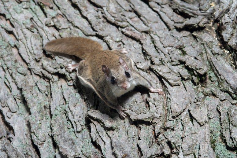 Flying Squirrels, Tree, Crawling