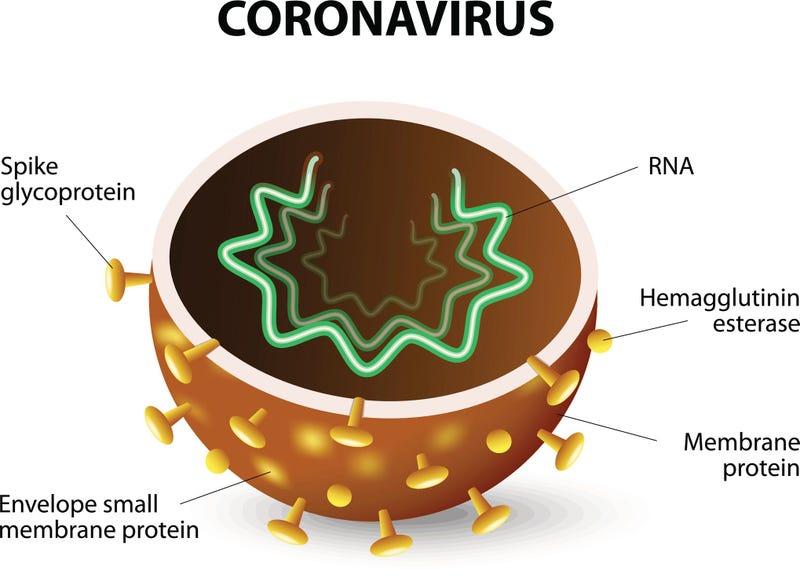 The inside of a Coronavirus